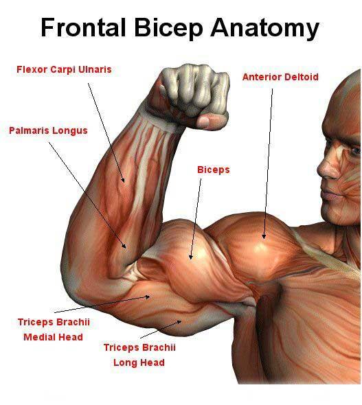 Le guide complet de la croissance des biceps